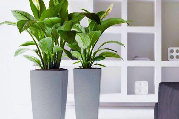 Nên bố trí số lượng cây trồng phong thủy trong nhà phù hợp với không gian
