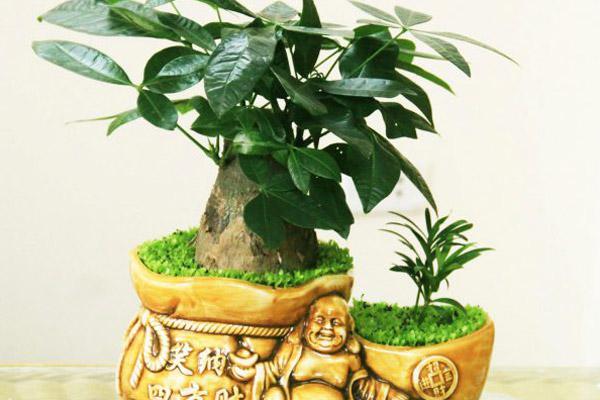 Cây kim nhân là cây trồng hợp phong thủy đem lại tài lộc