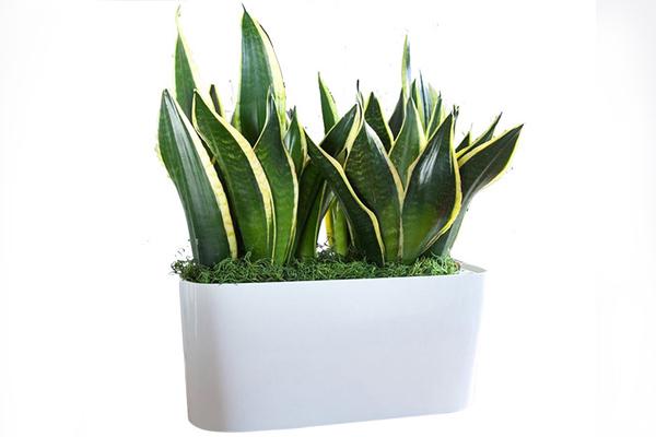 Cây lưỡi hổ trồng trong nhà giúp thanh lọc khí rất tốt
