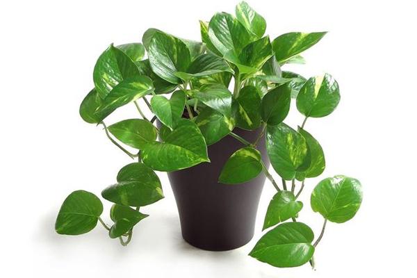 Cây trà bầu là cây trồng trong nhà cần ít ánh sáng