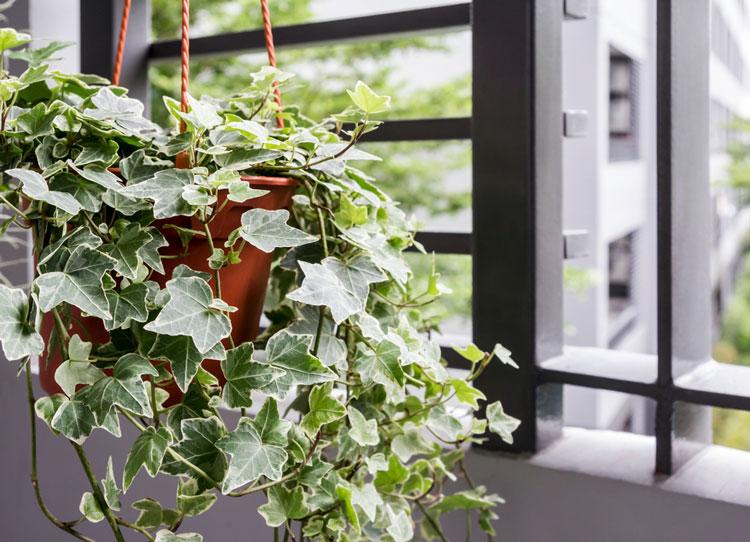 Một chậu thường xuân nhỏ bên cửa sổ sẽ giúp phòng bạn đẹp và trong lành hơn