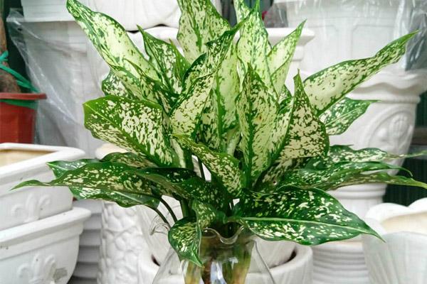 Cây ngọc ngân là cây trồng phong thủy trong nhà hợp với người mệnh thủy
