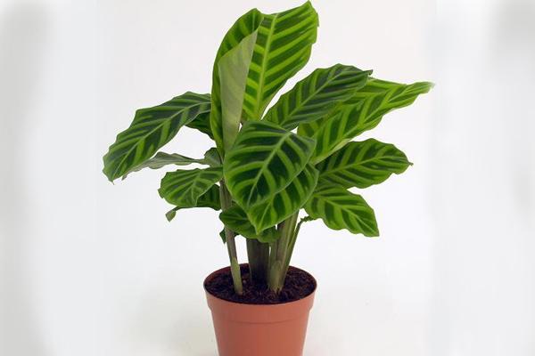 Huỳnh tinh văn là loại cây có lá rất đẹp sống không cần ánh sáng
